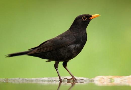 Black sparrow photography after rain